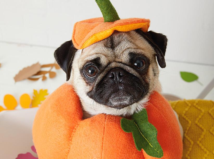 Pet Halloween Costumes | thinkmakeshareblog.com