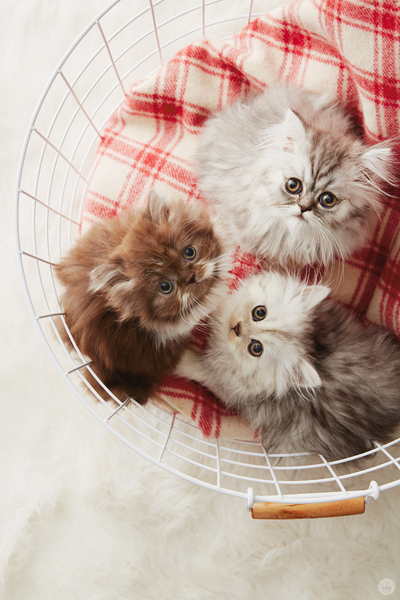 holiday pet photo ideas: kittens in a basket