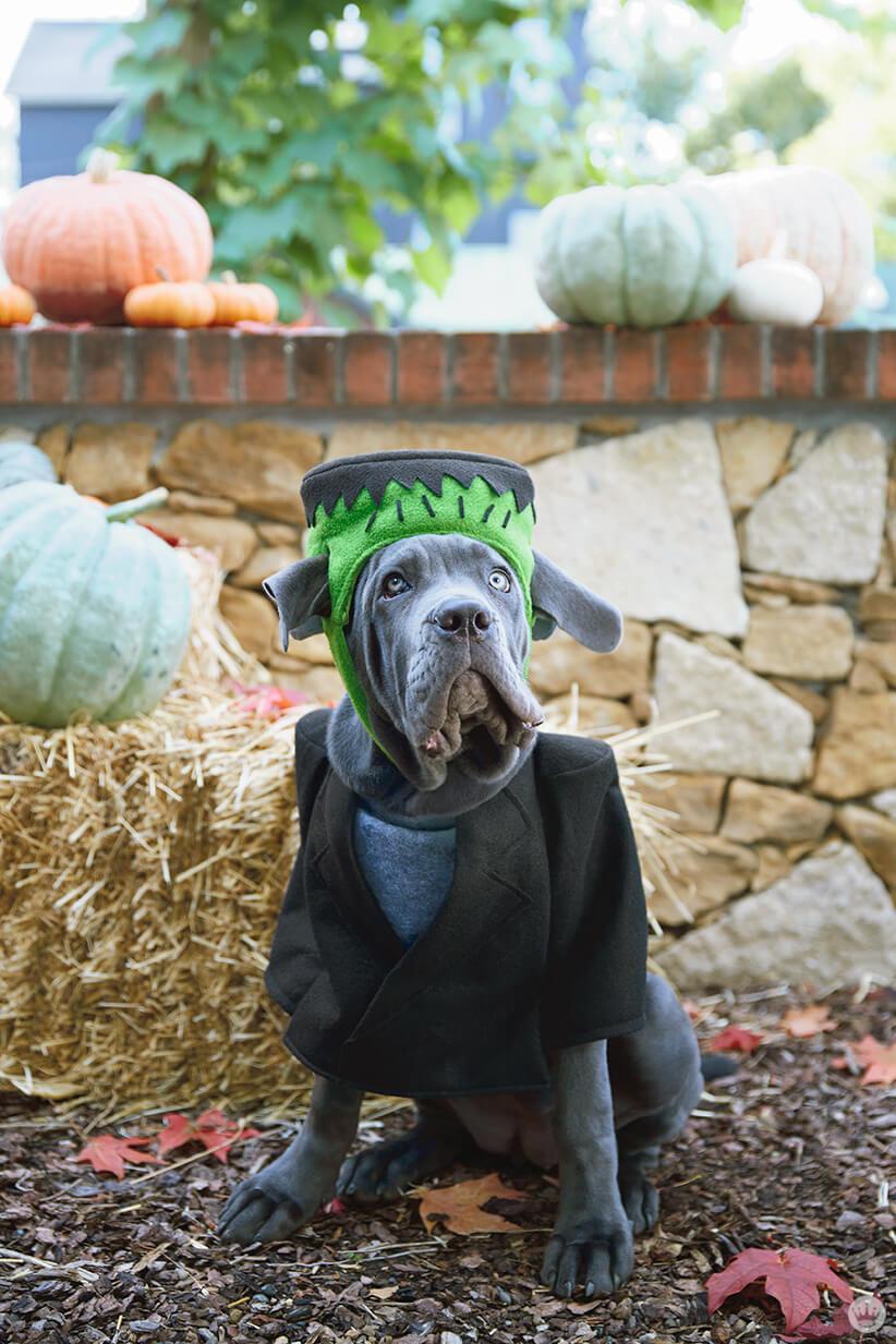 Dog in Frankenstein dog costume