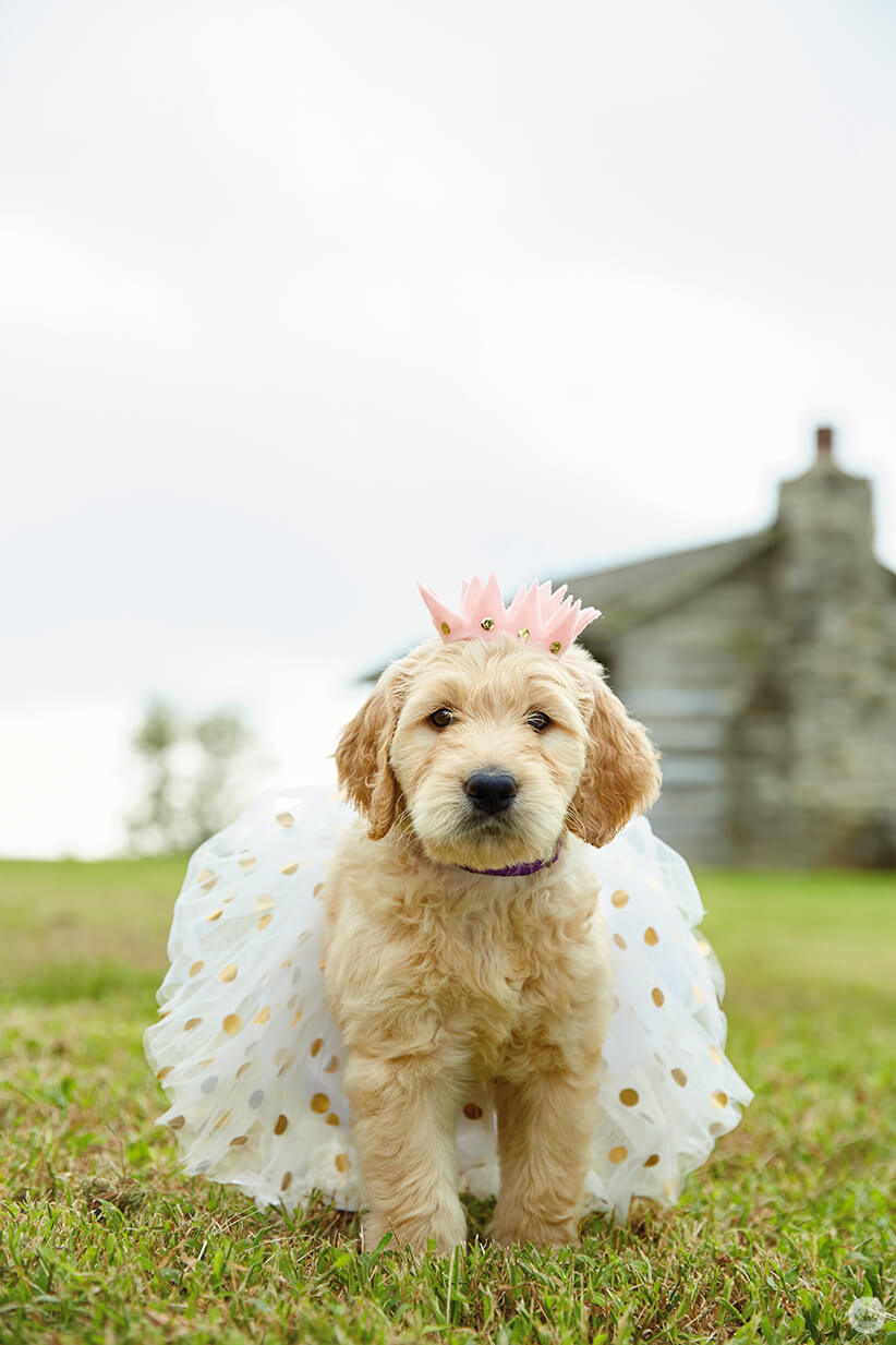 Dog wearing sparkly tutu and pink felt crown