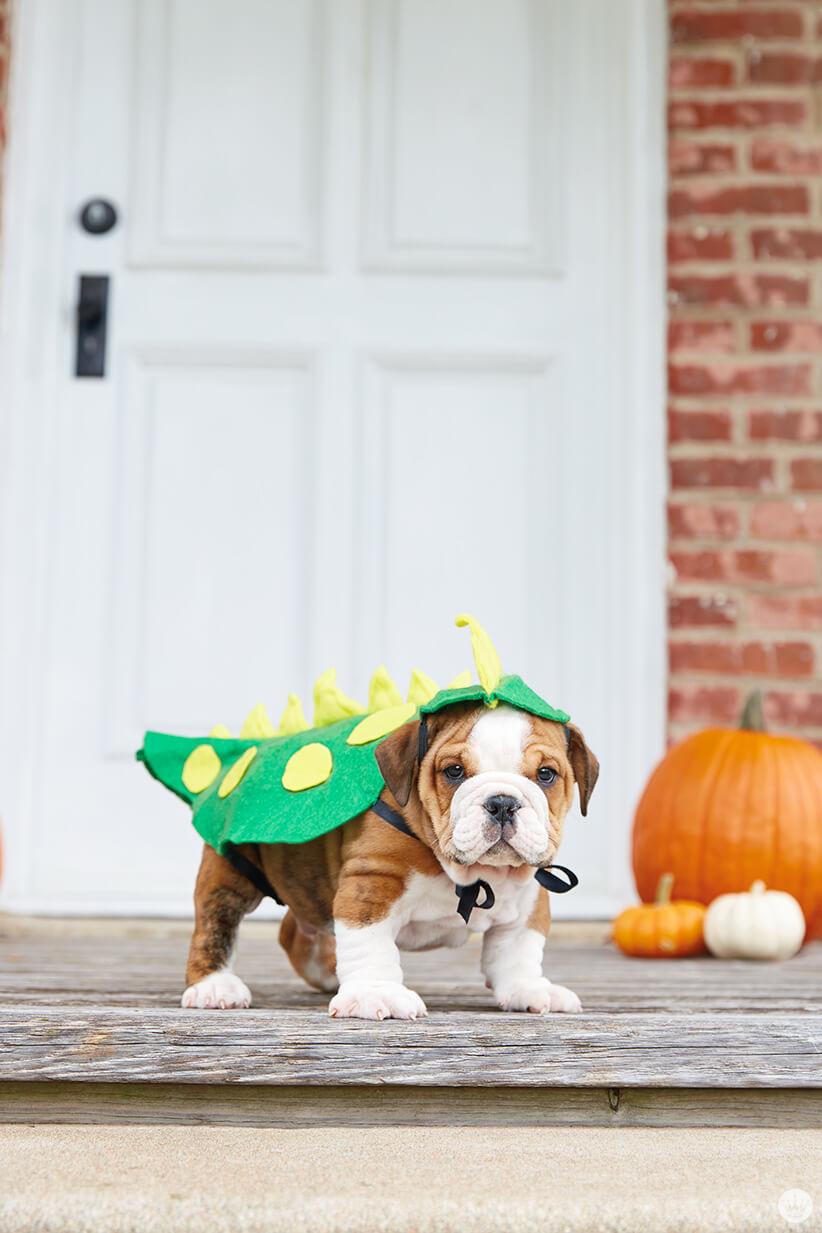 Baby bulldog dressed up like a dragon or lizard or dinosaur